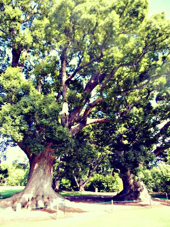 These magnificent camphor trees have been proclaimed a SA heritage site. Photo Nadia Krige