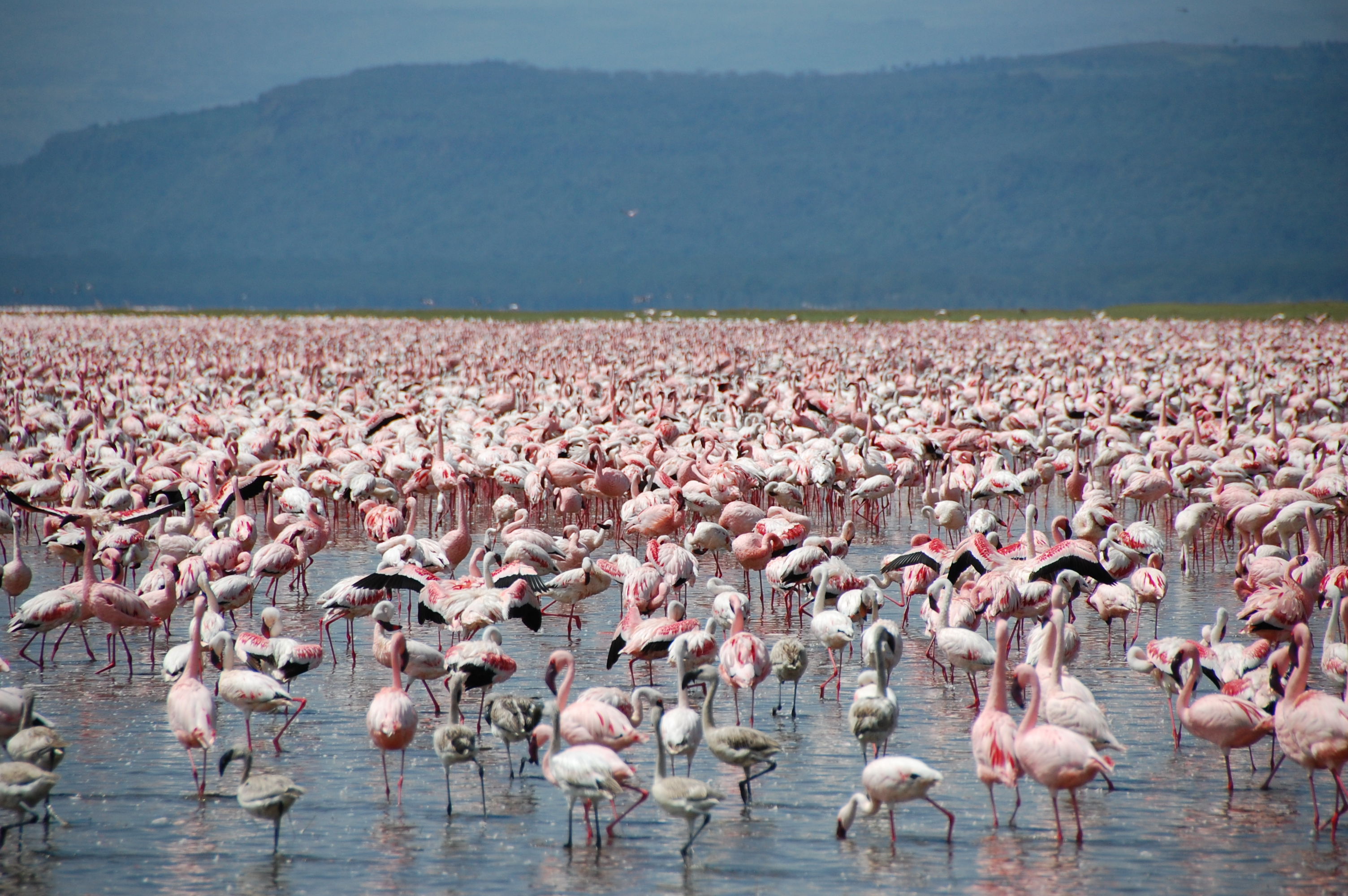 Large_number_of_flamingos_at_Lake_Nakuru.jpg